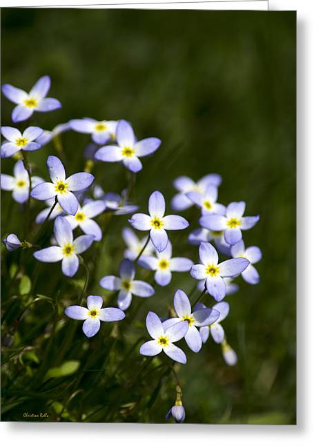 Bluet Flowers Greeting Card by Christina Rollo