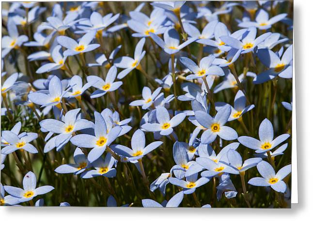 Tiny Bluet Greeting Cards - Bluets Greeting Card by Lara Ellis