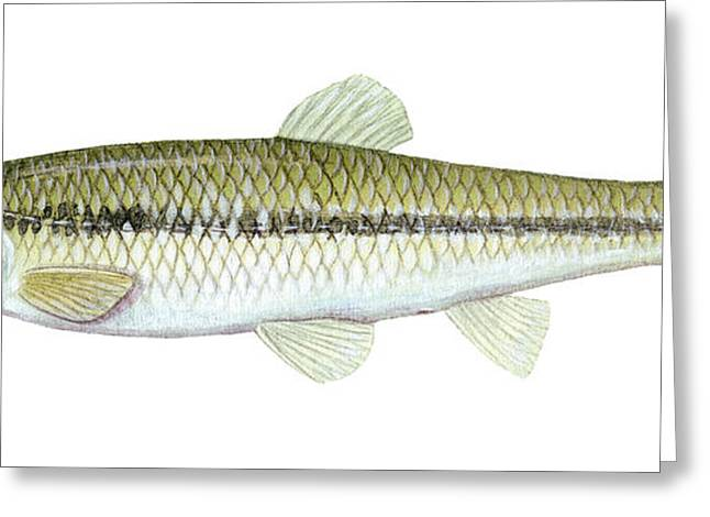 Minnows Greeting Cards - Bluntnose Minnow Greeting Card by Carlyn Iverson