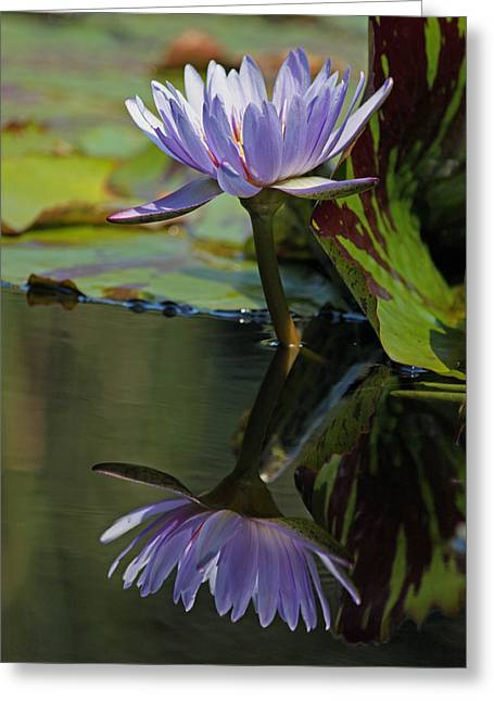 Lily Pad Greeting Cards Greeting Cards - Blush of Purple Water Lily Greeting Card by Suzanne Gaff