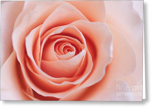 Rose Petals Greeting Cards - Blush Rose Greeting Card by Ana V  Ramirez