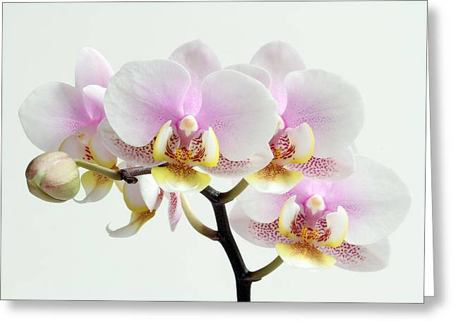 Orchid Canvas Greeting Cards - Blushing Orchids Greeting Card by Juergen Roth