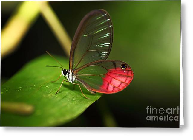 Neotropics Greeting Cards - Blushing Phantom butterfly Greeting Card by James Brunker