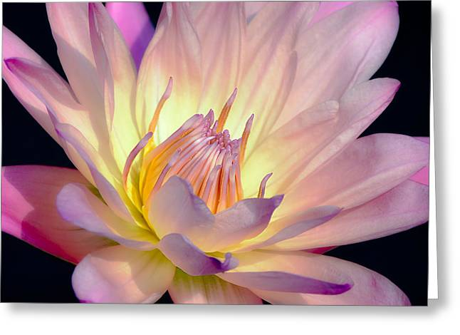 Peace Square Format Greeting Cards - Blushing Pink Water Lily Greeting Card by Julie Palencia