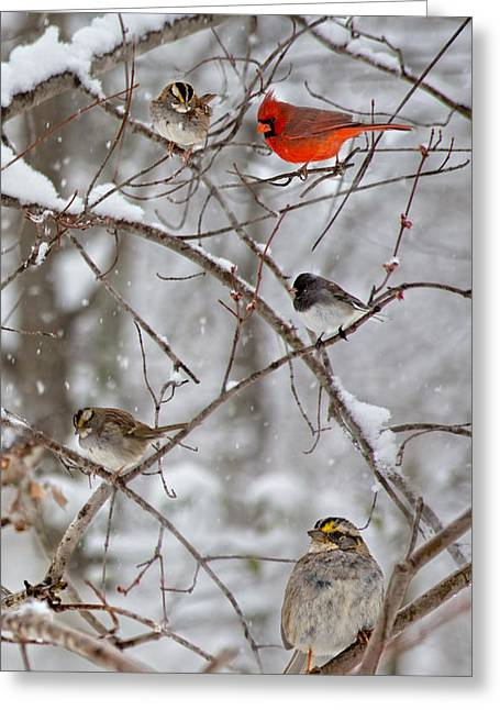 Sit-ins Greeting Cards - Blushing Red Cardinal in the Snow Greeting Card by Betsy A  Cutler