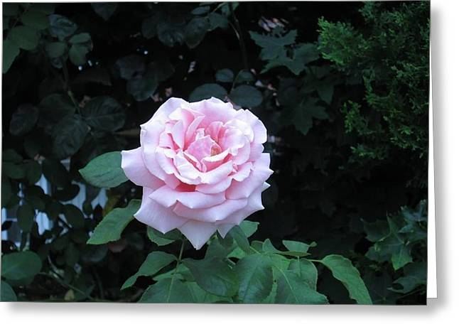 Roze Greeting Cards - Blushing Rose Greeting Card by Carolyn Quinn