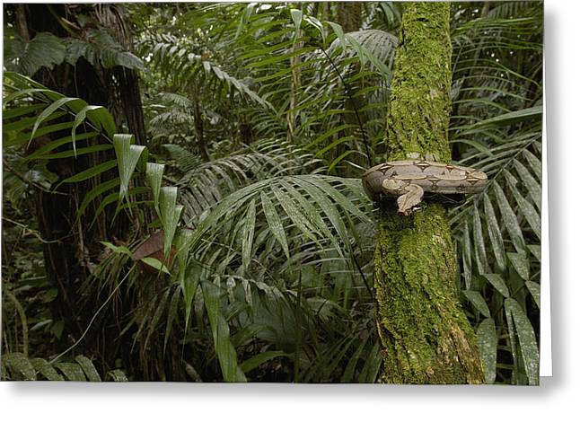 True Color Photograph Greeting Cards - Boa Constrictor In The Rainforest Greeting Card by Pete Oxford