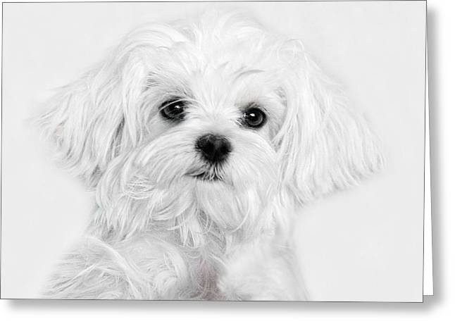 Maltese Photographs Greeting Cards - Bobby White Greeting Card by Joachim G Pinkawa