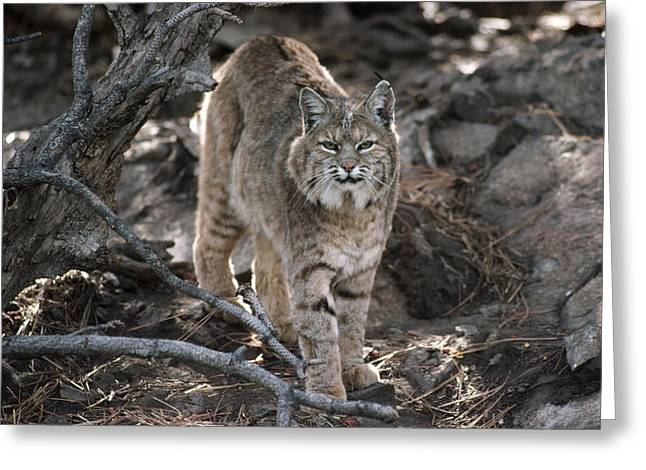 Lynx Rufus Greeting Cards - Bobcat Adult Portrait Montana Greeting Card by Tim Fitzharris