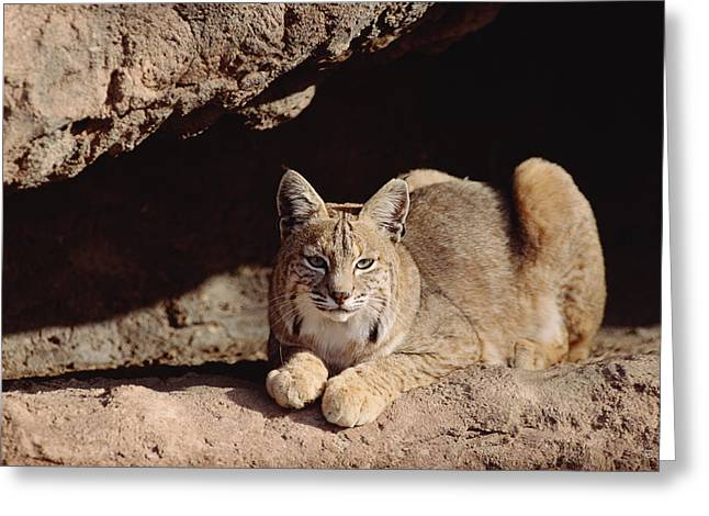 Lynx Sp Greeting Cards - Bobcat Adult Resting On Rock Ledge Greeting Card by Tim Fitzharris