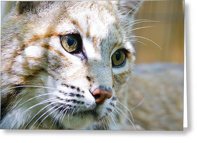 Bobcats Photographs Greeting Cards - Bobcat Greeting Card by Alexey Stiop