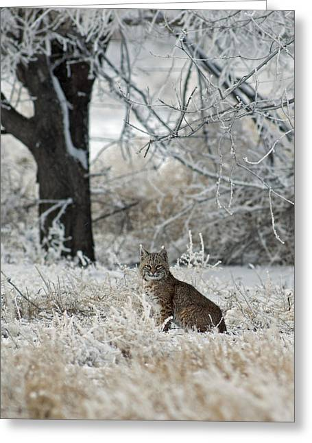 Best Sellers -  - Bobcats Greeting Cards - Bobcat and Heavy Frost Greeting Card by Gary Langley