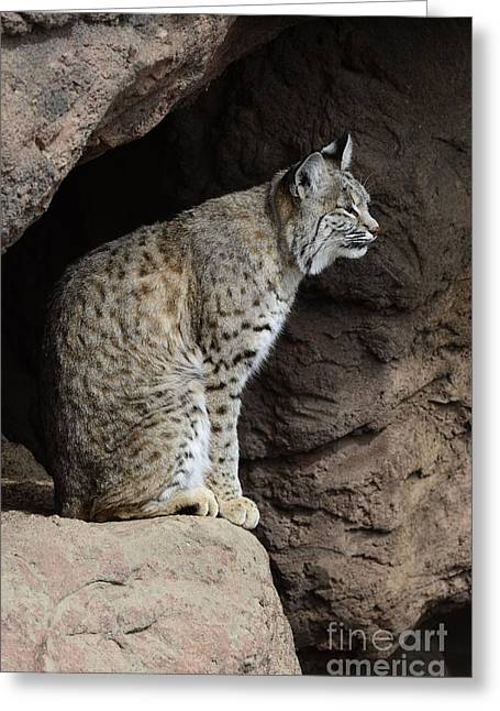 Bobcats Photographs Greeting Cards - Bobcat Greeting Card by Bob Christopher