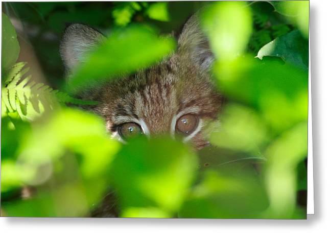 Baby Bobcat Greeting Cards - Bobcat Greeting Card by Brian Magnier
