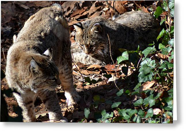 Female Bobcat Greeting Cards - Bobcat Couple Greeting Card by Eva Thomas