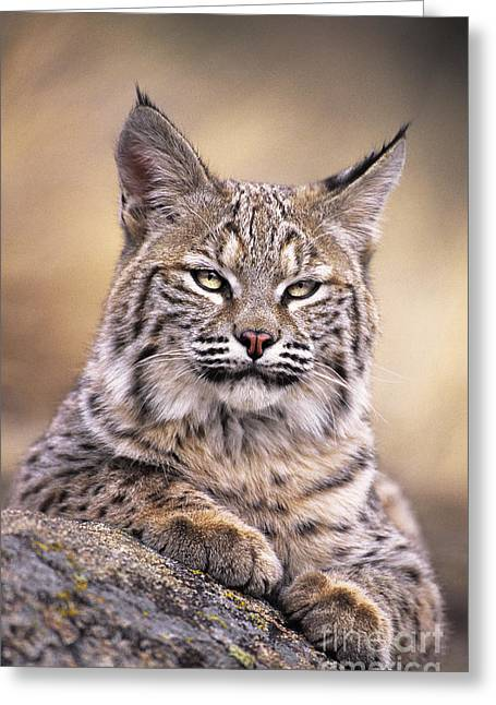 Bobcats Photographs Greeting Cards - Bobcat Cub Portrait Montana Wildlife Greeting Card by Dave Welling