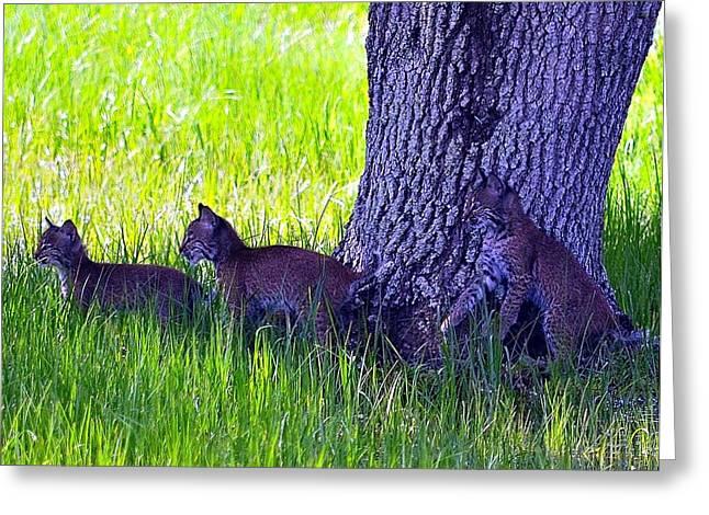 Baby Bobcat Greeting Cards - Bobcat cubs Greeting Card by Diana Berkofsky