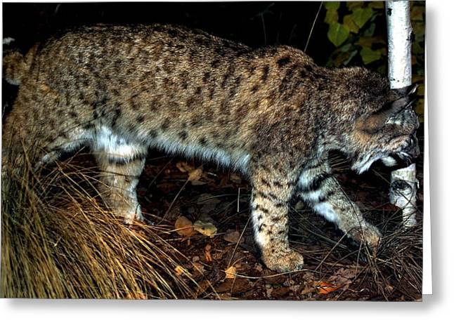 Bobcats Photographs Greeting Cards - BobCat Greeting Card by Dennis Begnoche