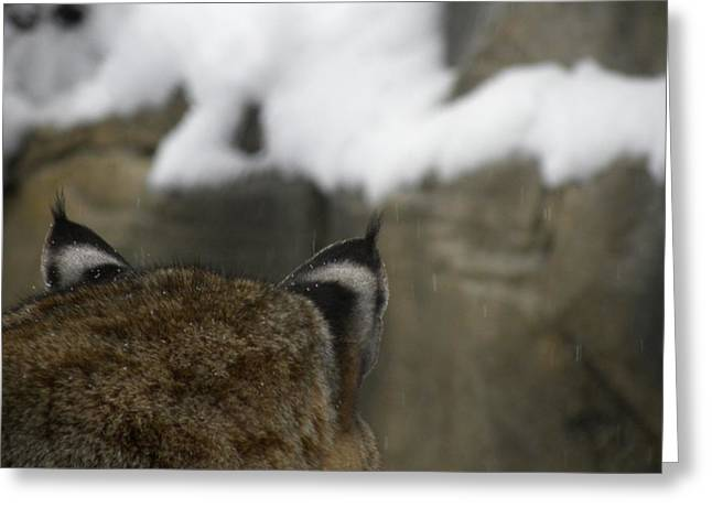 Bobcats Photographs Greeting Cards - Bobcat Ears Greeting Card by Teresa Schomig