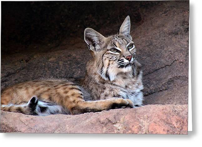 Bobcat Greeting Card by Elaine Malott