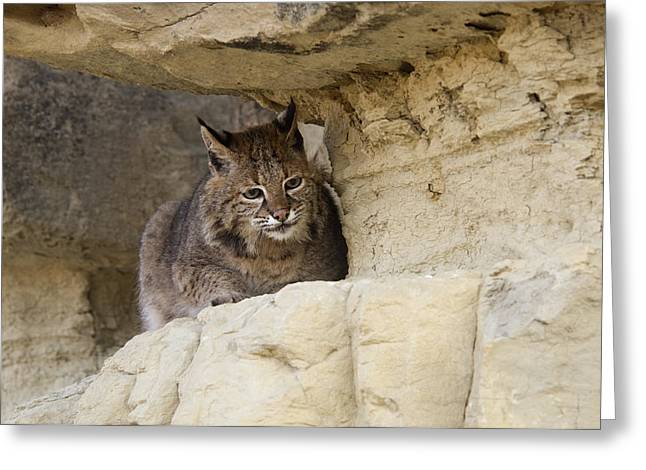 bobcat felis rufus Greeting Card by Carol Gregory