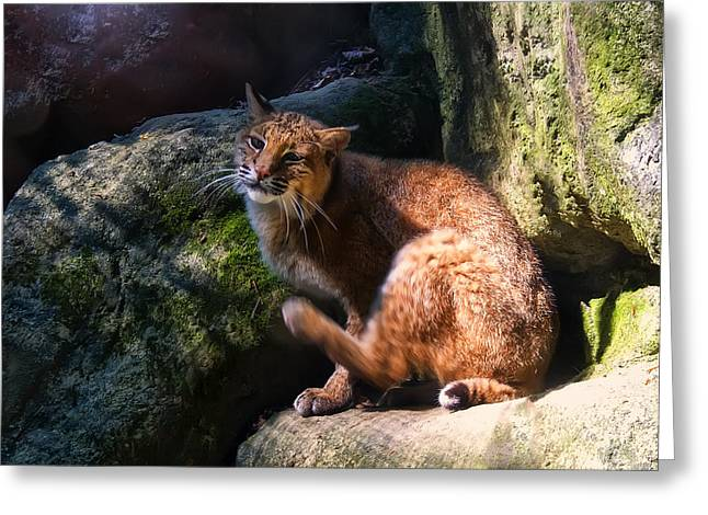 Bobcats Greeting Cards - Bobcat grooming itself Greeting Card by Chris Flees