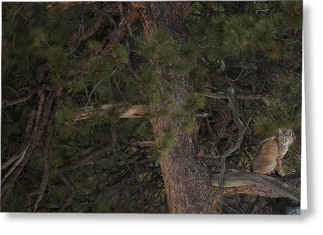 Lynx Rufus Greeting Cards - Bobcat in a Tree Greeting Card by Christopher Brookhart