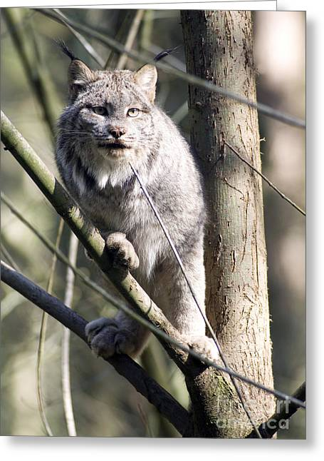 Lynx Rufus Greeting Cards - Bobcat in a Tree Wildlife Greeting Card by Christopher Boswell