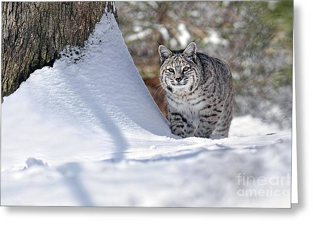 Bobcats Greeting Cards - Bobcat in snow Greeting Card by Dan Friend