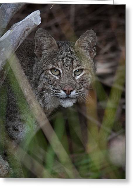 Bobcats Greeting Cards - Bobcat in the back yard. Greeting Card by W Chris Fooshee
