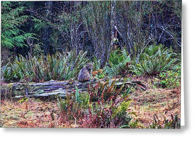 Bobcats Photographs Greeting Cards - Bobcat in the Forest Greeting Card by Peggy Collins