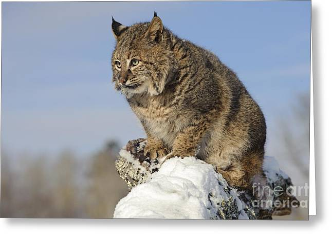 Lynx Rufus Greeting Cards - Bobcat Greeting Card by John Shaw