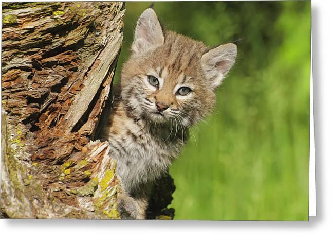 Bobcat Kitten  Felis Rufus  Peeks Greeting Card by Rebecca Grambo