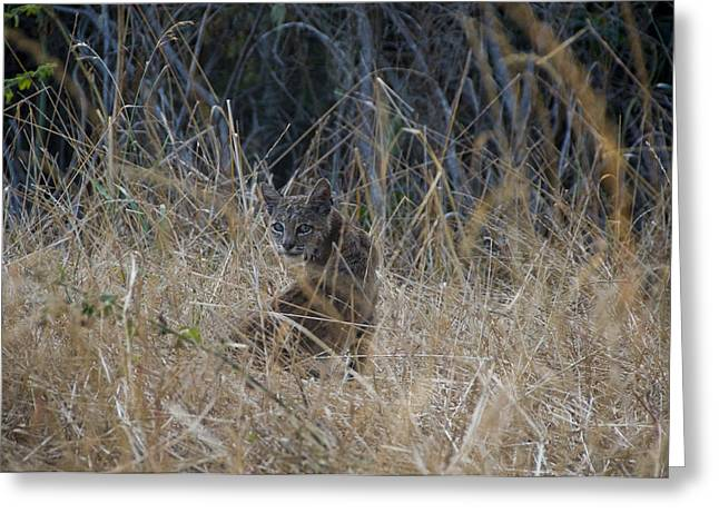 Bobcat Kitten In The Underbrush Greeting Card by Scott Lenhart