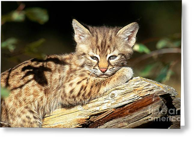 Lynx Sp Greeting Cards - Bobcat Kitten Lynx Rufus Greeting Card by Art Wolfe