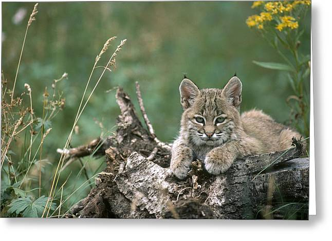 Lynx Sp Greeting Cards - Bobcat Kitten Resting On A Log Idaho Greeting Card by Michael Quinton