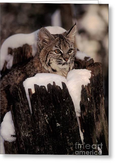 North American Bobcats Greeting Cards - Bobcat Kitten Greeting Card by Ron Sanford