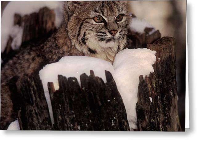 Bobcat Kitten Greeting Card by Ron Sanford