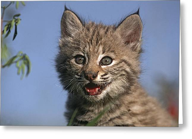 Bobcats Photographs Greeting Cards - Bobcat Kitten Greeting Card by Tim Fitzharris