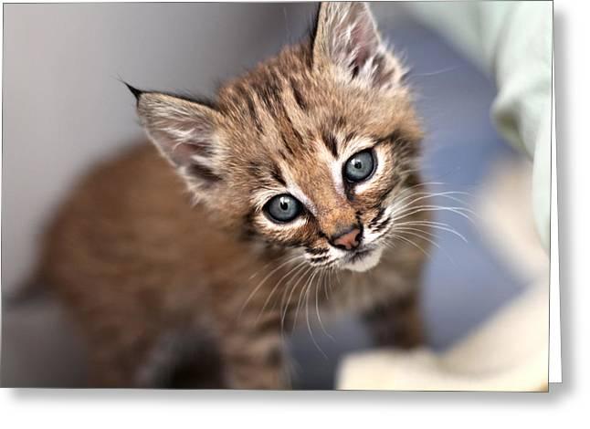 Baby Bobcat Greeting Cards - Bobcat Kitty Greeting Card by Wendi Matson