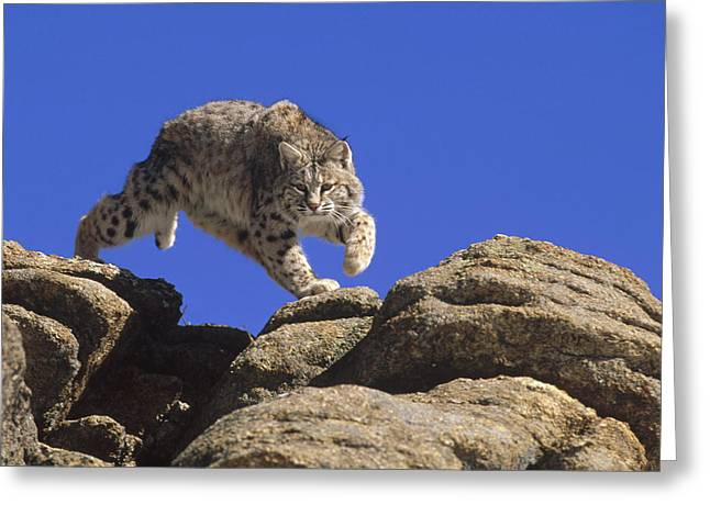 Lynx Sp Greeting Cards - Bobcat Leaping From Rocks Colorado Greeting Card by Konrad Wothe
