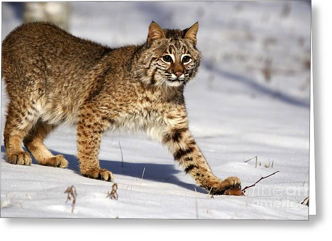 Bobcats Greeting Cards - Bobcat Greeting Card by Linda Freshwaters Arndt