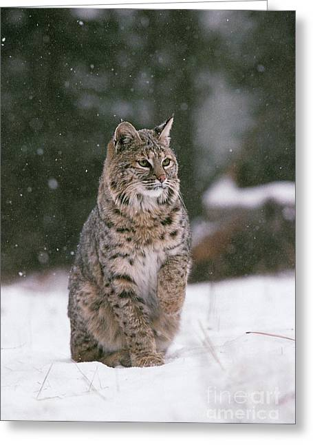 Lynx Rufus Greeting Cards - Bobcat Lynx Rufus In Winter Snow Greeting Card by Ron Sanford