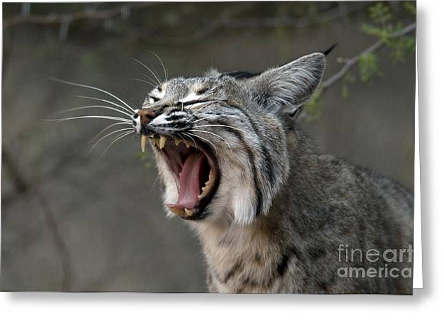 Lynx Rufus Greeting Cards - Bobcat Greeting Card by Mark Newman