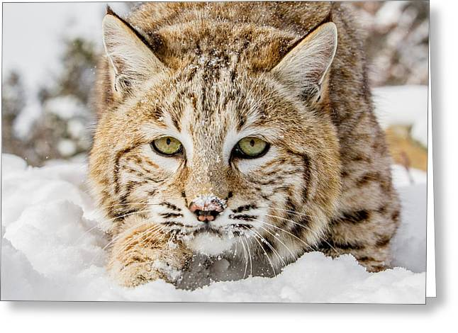 Bobcat Greeting Cards - Bobcat Greeting Card by Mike Centioli