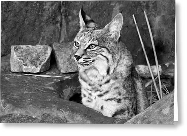 Bobcat Photographs Greeting Cards - Bobcat Greeting Card by Nikolyn McDonald
