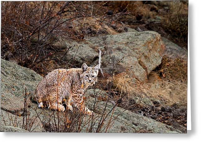 Lynx Rufus Greeting Cards - Bobcat on a Rock Greeting Card by James Futterer