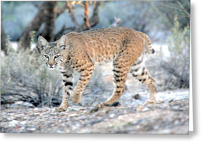 Preditor Greeting Cards - Bobcat on the Prowl Greeting Card by Dennis Swena