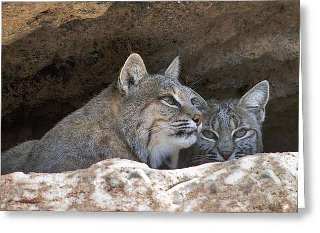 Bobcats Den Greeting Cards - Bobcat Pair Greeting Card by Paul Riedinger