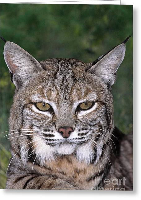Best Sellers -  - Bobcats Photographs Greeting Cards - Bobcat Portrait Wildlife Rescue Greeting Card by Dave Welling